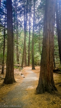 Yosemite Valley trails amazing pines.